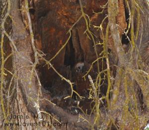Barn Owl - facts, behavior, habitat, song & photos